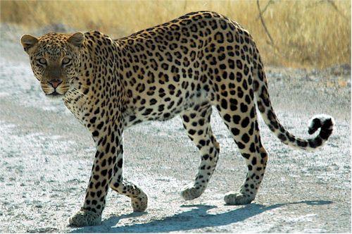 Leopard in Etosha Namibia