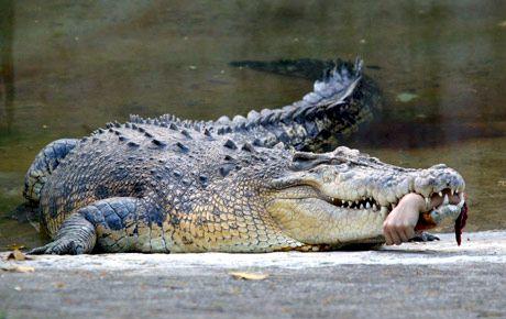 crocodile-bite