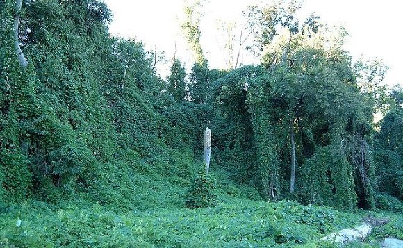 Kudzu on trees Atlanta Georgia