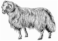 Tunis fat-tailed sheep