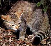 Afriska divja macka - slika iz serije Velike macke na mrezi