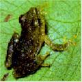 Broasca aurie din Brazilia