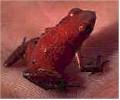 Tiny poison frog