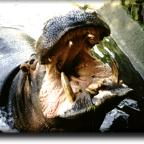 Hippo teeth