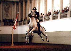 Lipizzaner from the Spanish Riding School in Vienna