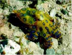modrolisastna hobotnica - samo glej! Ne dotikaj se