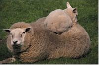 Sheep ewe and lamb