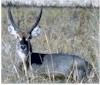 Obvodna antilopa