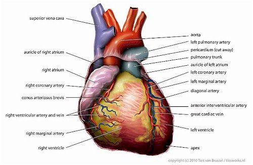 Heart - the powerful machine inside you