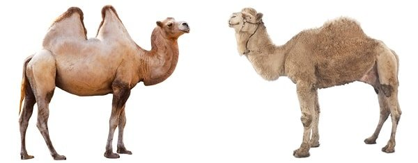 bactrian-and-dromedary-camels