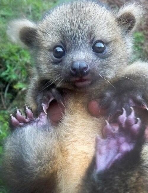 Baby olinguito. Photo credit: Juan Rendon.